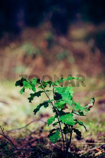 Little oak tree sapling