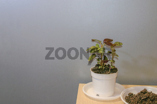 Hypoestes potted house plant