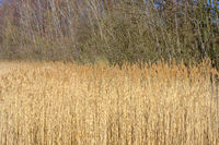 Early Spring Reeds