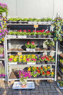Rack filled with blossoming Bellis and Primula plants