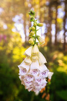 Foxglove Flowers in the Forest, Northern California