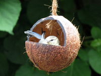 Bluetit Chick in a coconut