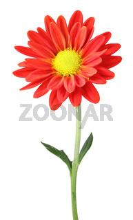 Wonderful Chrysanthemum (Chrysantheme, Daisy) isolated on white background.