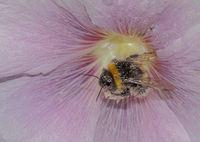 Buff-tailed bumblebee 'Bombus terrestris'