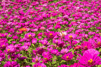 pink and purple cosmos flowers farm