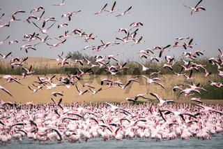 Flamingoes in bird paradise, Walvis Bay, Namibia.