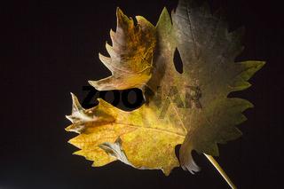 Yellowed grape leaves