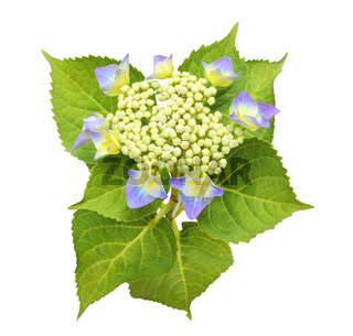 Beautiful Sawn Hydrangea (Hortensia, Hortensie) isolated on white background, including clipping path.