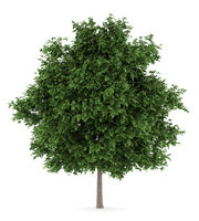 large-leaved lime tree isolated on white