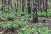 birch forest and green fern