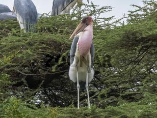 nesting marabou stork at lake bogoria in kenya