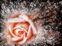 dramatic splash effect single bright pink rose floral abstract effect image with white and orange details