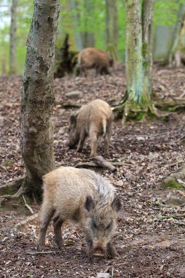 Herd of boars