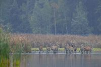 A herd of Red Deer in Upper Lusatia / Cervus elaphus