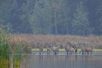 A herd of Red Deer in Upper Lusatia / Cervus elaphus