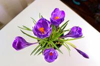 View of purple crocus flowers looking down