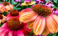 A vibrant growing patch of Echinacea Purpurea or Purple Coneflower.