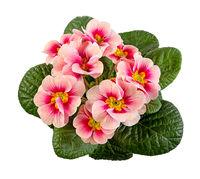 Isolated pink primrose flower