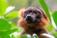 portrait of a red lemur vari