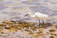 American little egret walks on coast