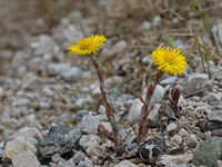 close-up of the blossoms of a coltsfoot, Tussilago farfara