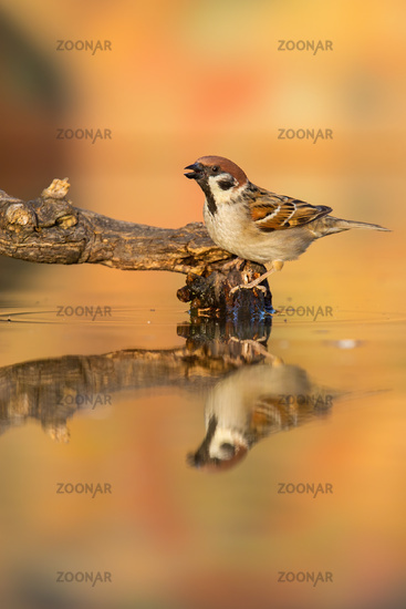 Eurasian tree sparrow sitting on branch in pond in autumn.