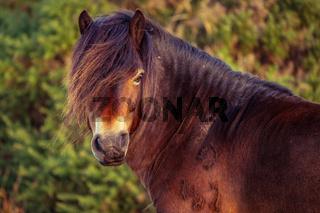 Wild Exmoor Pony, Somerset, England