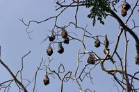 Many Indian flying fox in winter forest