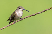 Female Hummingbird Perched on a Branch