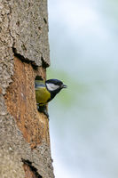 Great Tit sits in the entrance of the nesting hole / Parus major