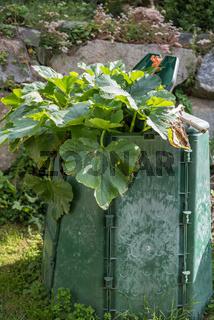 Wachstum der Kürbispflanze im Garten - Komposthaufen