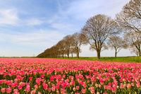 Fields full of Dutch tulips