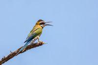 bird White-throated Bee-eater Ethiopia wildlife