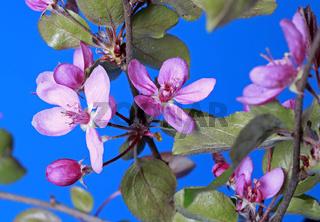 Zierapfelbaumblüte
