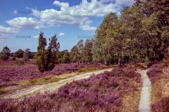 Holiday in Germany. Wonderful hiking trails in the Lüneburg Heath Nature Park (Nature Reserve) during the heath blossom.