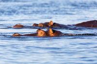 Hippo Hippopotamus Hippopotamus, Botswana Africa