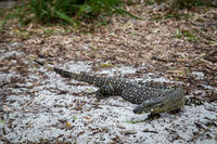 Monitor Lizard on Whitehaven Beach