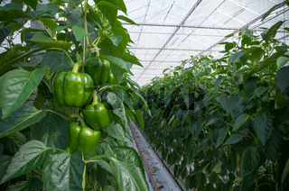 cultivation of bell peppers