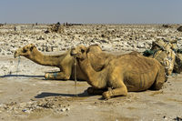 Dromedaries waiting to be loaded with salt slabs, Hamadela, Danakil Depression, Afar Region,Ethiopia