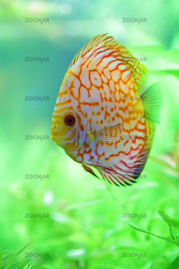 tropical discus fish