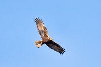 Birds of prey - Marsh Harrier, Europe Wildlife