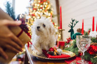 Small white terrier on a decorative christmas table