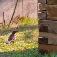 Female Blackbird in the garden