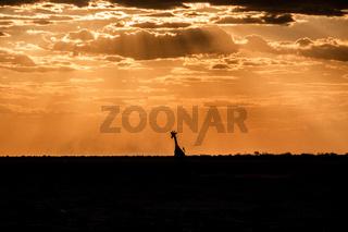 girafe at etosha national park, namibia