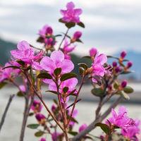 Closeup shot of Rhododendron dauricum flowers (popular names bagulnik; maralnik) with Altai river Katun on background