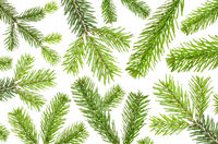 many green fir branches on a white background