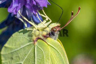 Zitronenfalter (Gonepteryx rhamni)