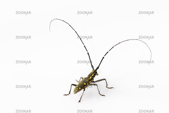 long-horned beetle isolated