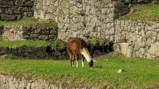 a llama feeding on a machu picchu terrace
