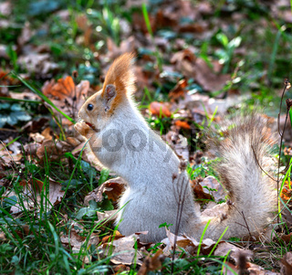 Fluffy grey squirrel in the autumn leaves.